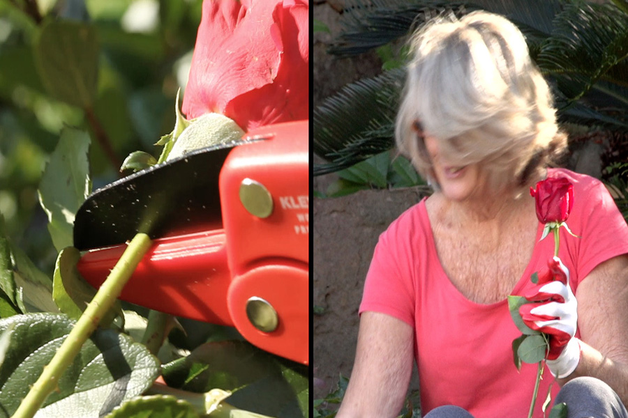 Perfect for delicate roses and flowers, the Kleva shears are the sharp value for money and quality famous garden clippers